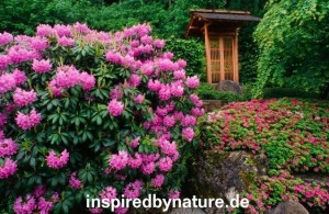 Screen shot 2011 02 05 at 6.29.52 PM 300x195 Japangarten in Deutschland   Rhododendron Blüte